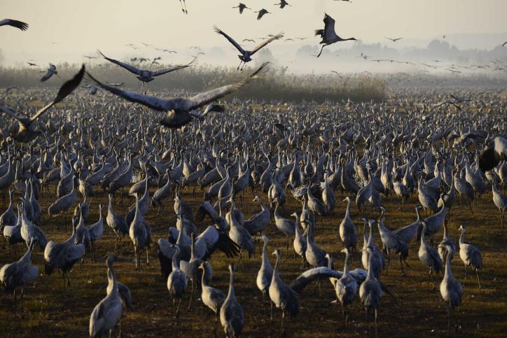 האגמון בשיאו: אלפי עגורים בגלריה מרהיבה