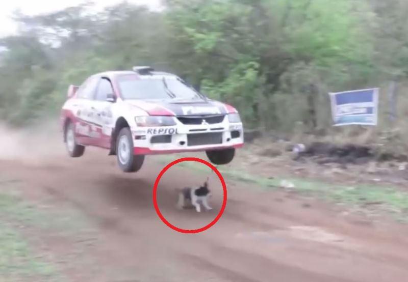 באמצע מירוץ: כלב ניצל מדריסה ברגע האחרון