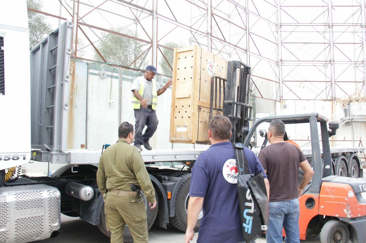 מבצע ספארי: צפו בחילוץ החיות מחאן יונס