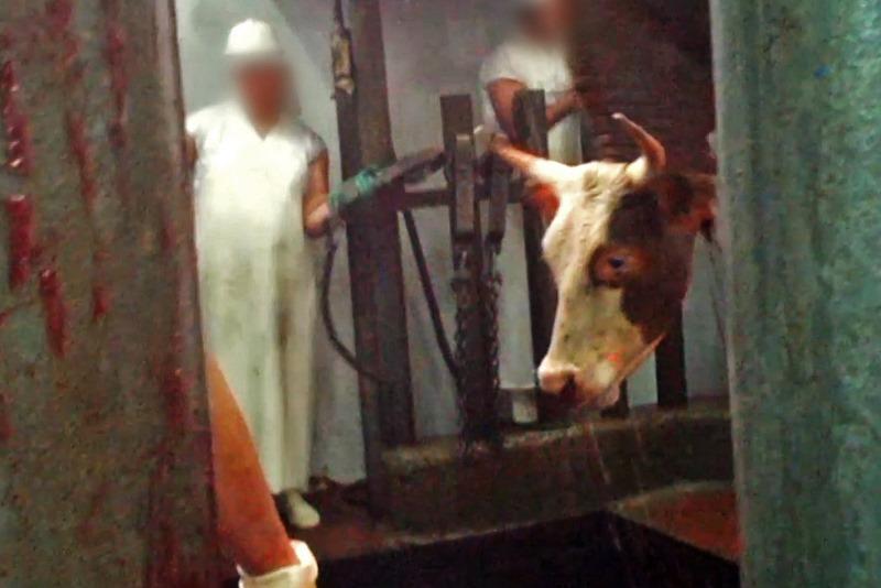 עתירה: לאסור יבוא בשר עגלים שנתלו חיים