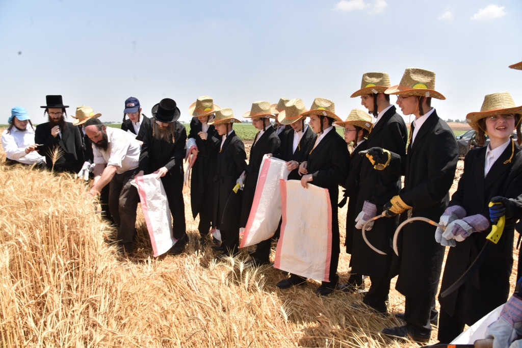 """בכובעי קש: הבחורים יצאו לקצור חיטים לאדמו""""ר • גלריה"""