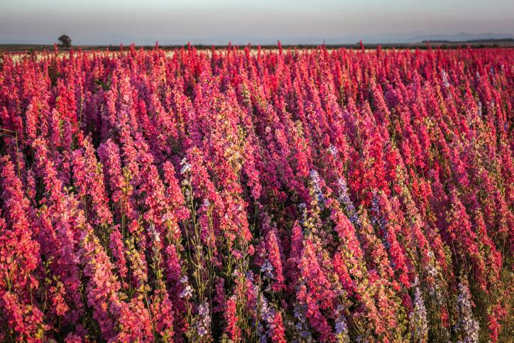 מרהיב: פריחת האביב בעמק יזרעאל • גלריה