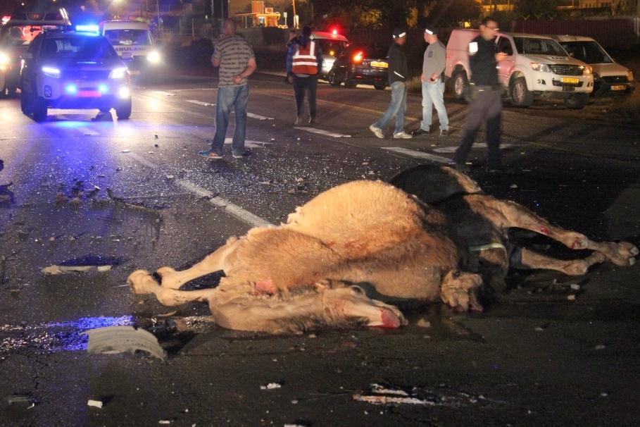 ששה גמלים צעדו על הכביש וסיכנו; הבעלים נעצר • צפו