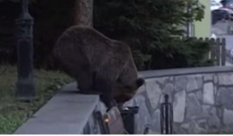 תופעה: דובים נכנסים לעיר כדי לאכול • צפו