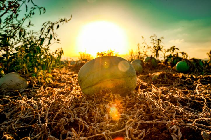 האבטיחים של עמק יזרעאל בשדה הפסטורלי • צפו