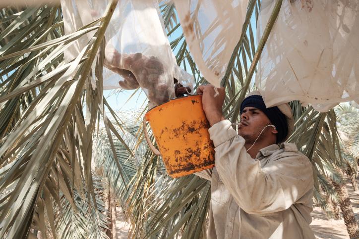 לקראת ראש השנה: גדיד התמרים בים המלח