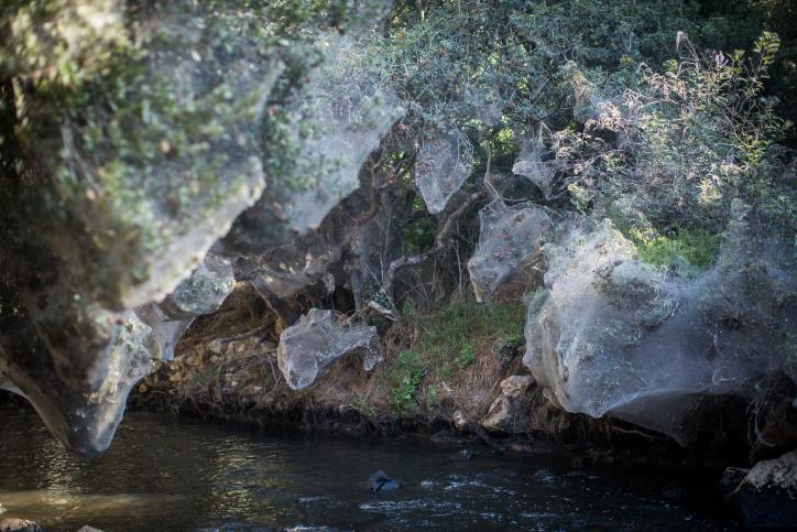 נחל שורק: העכבישים טוו קורי ענק • גלריה