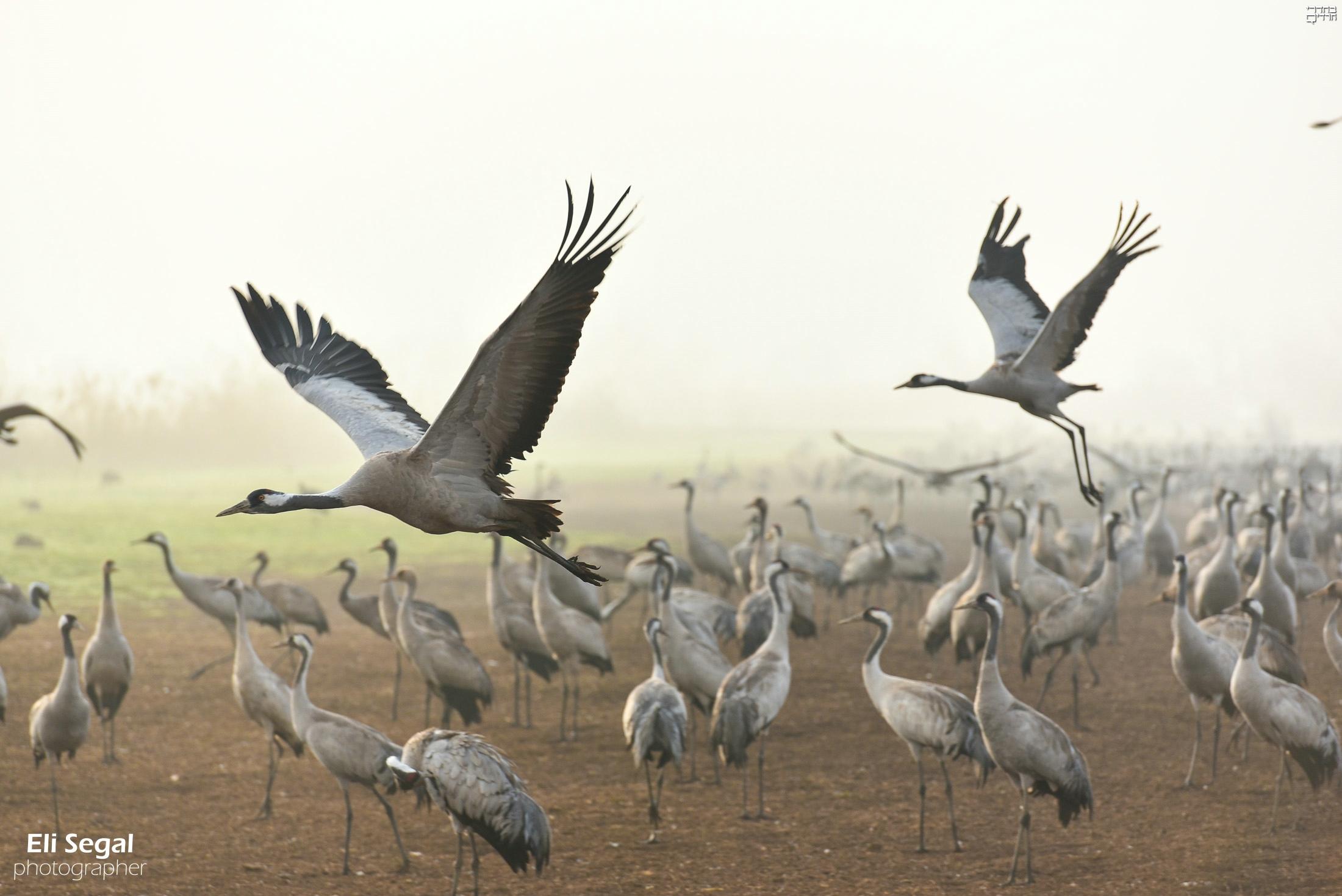 עונת הנדידה: הציפורים כיסו את אגמון החולה • גלריה