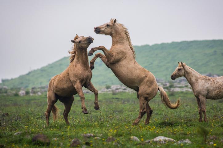 הסוסים והצבאים השתעשעו ברמת הגולן • צפו