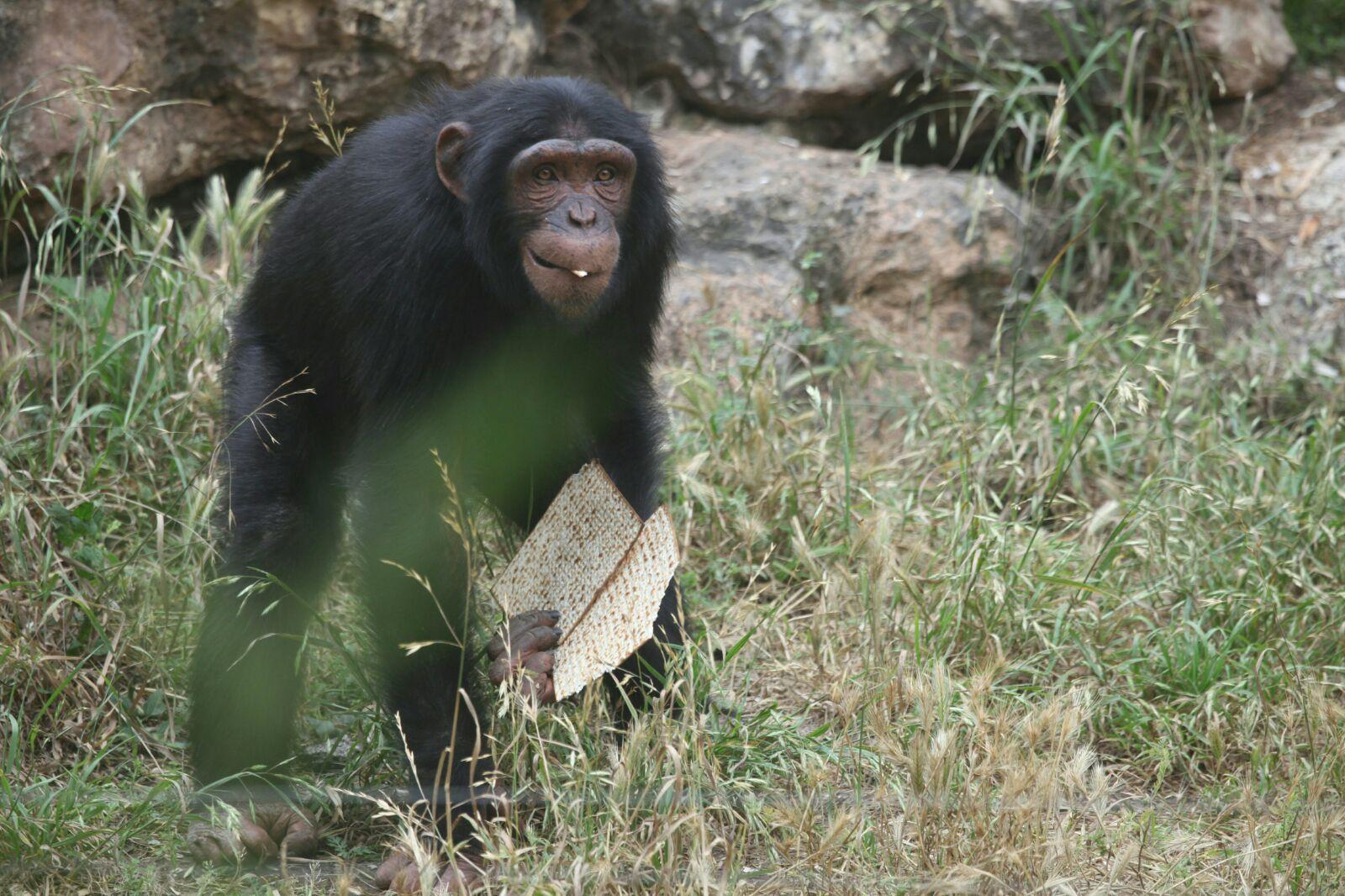 ערב פסח בספארי: צפו בקופים מתענגים על המצות