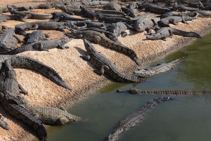 תנין ענק: טיול בנחל התנינים