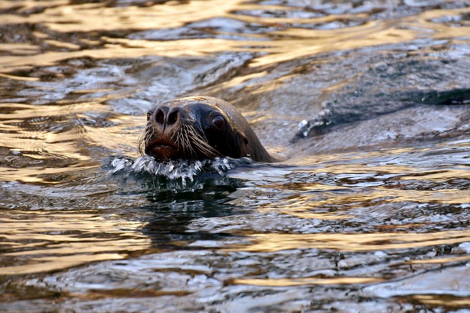 אורחת נדירה בראש הנקרה: כלבת ים • צפו