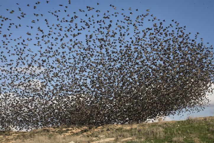 אתם תעופו על זה: ענן שחרחר של ציפורים