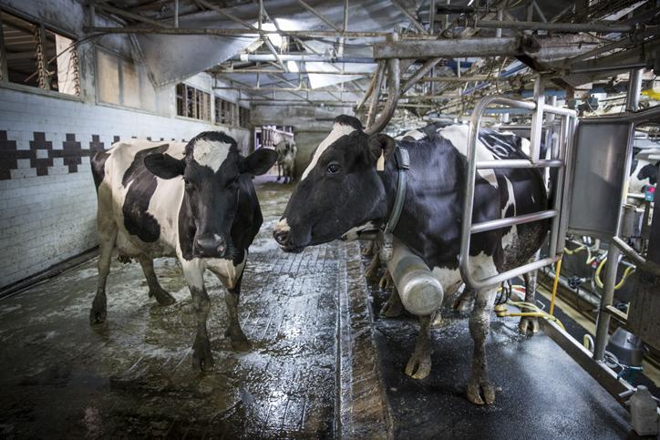 תהליך הייצור במשק החלב של הרפתות בעמק יזרעאל • צפו