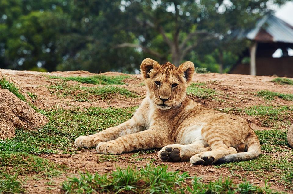 הכלה הגיעה עם אריה - האורחים ברחו
