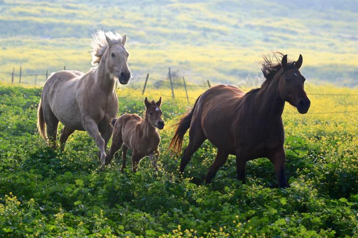כמו ציור: שעטת הסוסים ברמת הגולן • מרהיב