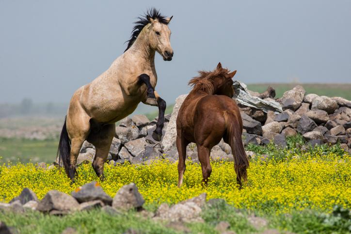 צפו: סוסים אציליים בחוות גמלא שבגולן